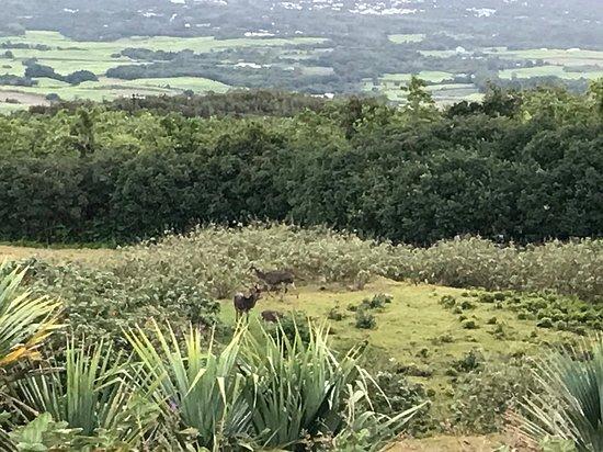 Sainte-Anne, Reunion Island: Cerf en liberté