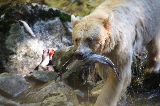 Klemtu, Canada: Spirit bear having lunch