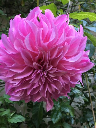 Anche, Франция: The most enormous dahlia I have ever seen