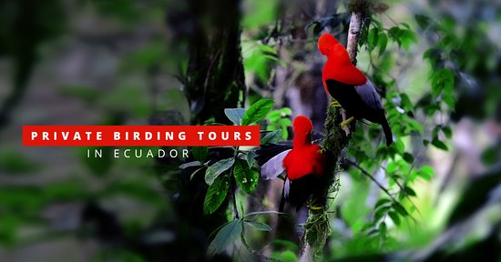 Mindo, Ecuador: We organize first class private birdwatching tours in Ecuador!