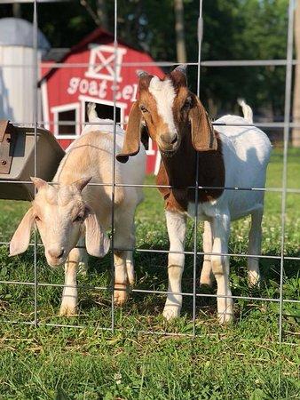 Washington, NJ: Boomer and Beamer, the goats.