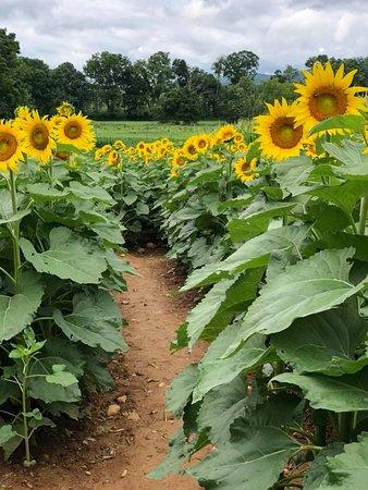 Washington, NJ: Sunflower Trail, open mid-August.