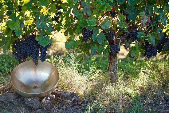 Bol chantant thérapeutique dans les vignes de Bordeaux