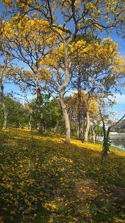 Garca, SP: o gramado vira um tapete amarelo...