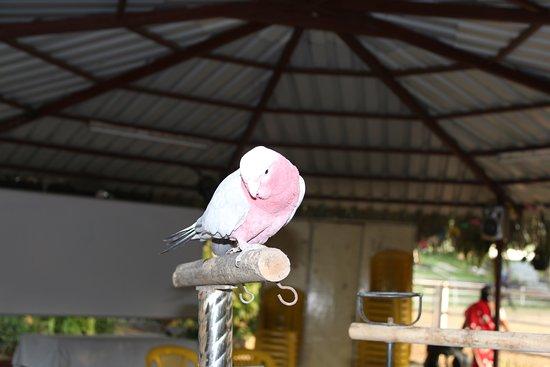 Talegaon, Ινδία: Rojaa the parrot