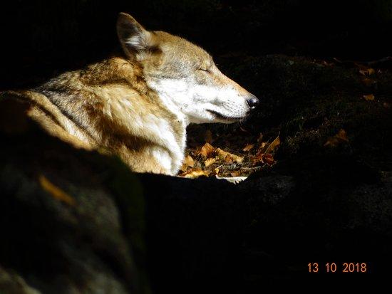Srni, Τσεχική Δημοκρατία: slunící se vlk....