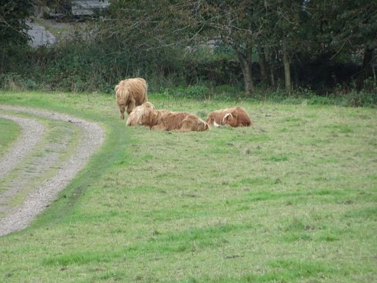 Rockcliffe, UK: HIghland cows near the beginning of the trail