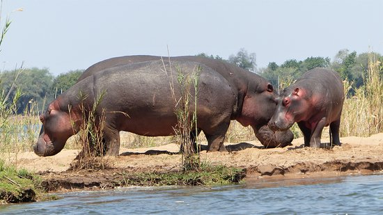 Lower Zambezi National Park, Ζάμπια: Family of Hippos near the Camp