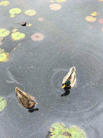 Topsfield, MA: ducks