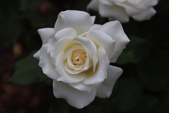 New Norfolk, Australia: White roses