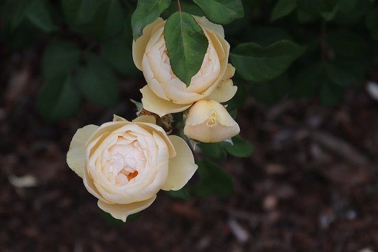 New Norfolk, Australia: I love roses!