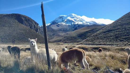 Chimborazo Province, Ecuador: LLamas ao redor do Chimborazo
