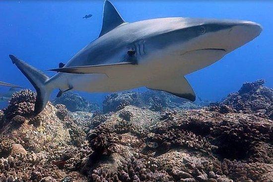 Safari plongée avec les requins...