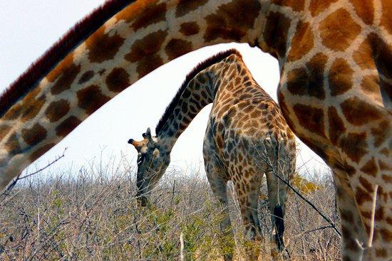 Cape Town, Afrique du Sud: Giraffen