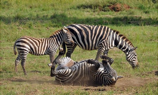Kitgum, Uganda: zebras having a moment for them selves