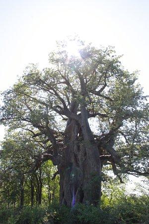 Makgadikgadi Pans National Park, บอตสวานา: Große Baobabs stehen im Camp