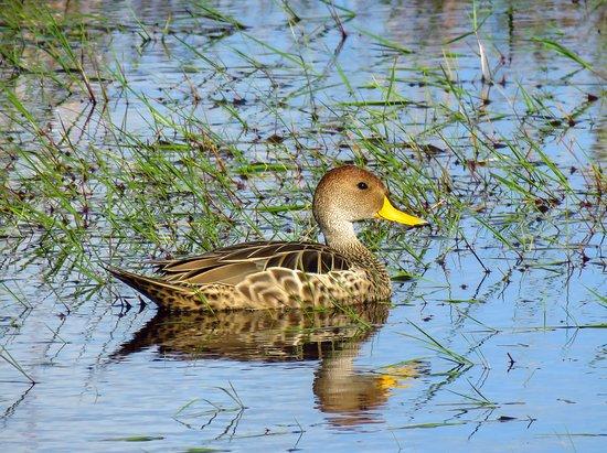 Lagoa do Peixe National Park: Marreca-parda, uma das muitas espécies que poderão ser vistas