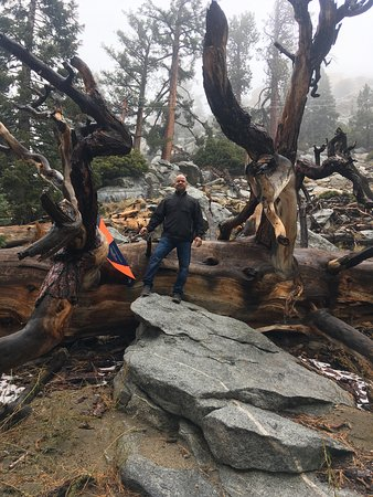 Palm Springs Aerial Tramway: My hubby was drawn to this huge fallen tree!