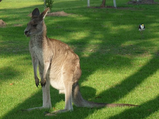 Lake Conjola, Australien: Cangurus por todo lado