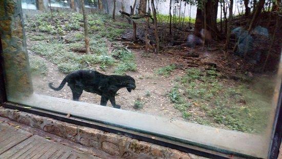 Miguel Alvarez del Toro Zoo (ZOOMAT): Jaguar negro