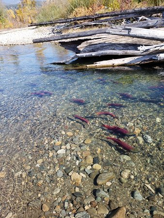 Adams River Salmon Run: 20181017_122040_large.jpg