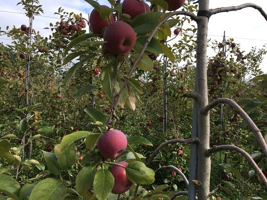 Stow, MA: Apple picking!