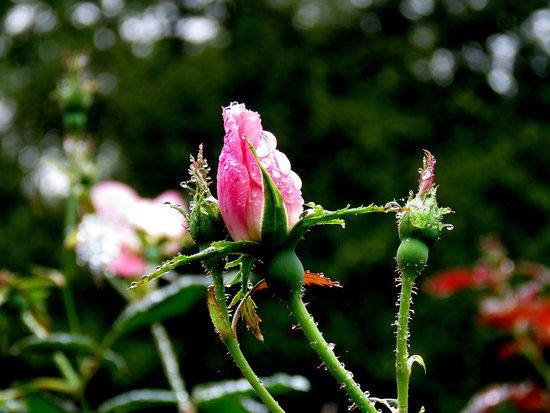 Summit, NJ: 'raindrops on roses'
