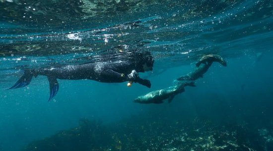 Hout Bay, แอฟริกาใต้: Marvel at these furry creatures playing underwater!