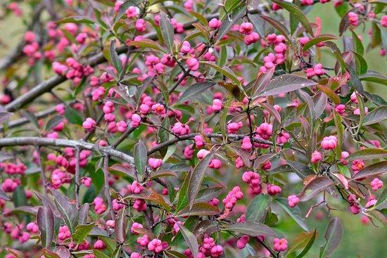 Rye Meads Nature Reserve: pink berries