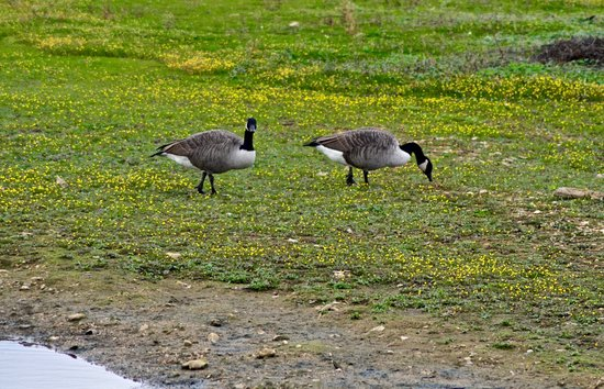 Rye Meads Nature Reserve: Canada geese