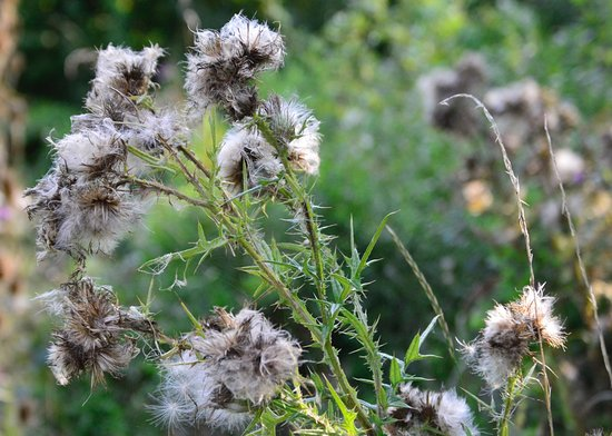 Rye Meads Nature Reserve: Thistles in down
