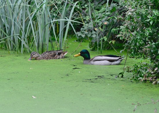 Rye Meads Nature Reserve: Mallard pair