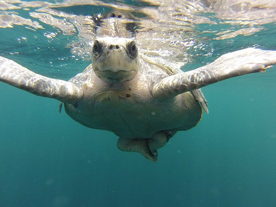 Playas del Coco, Costa Rica: This is an actual photo from one of our days out snorkeling... a very social turtle!