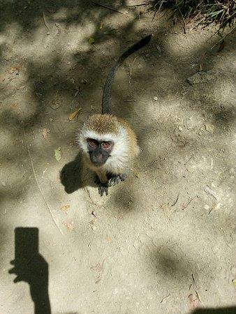 Hell's Gate National Park : Vervets monkey