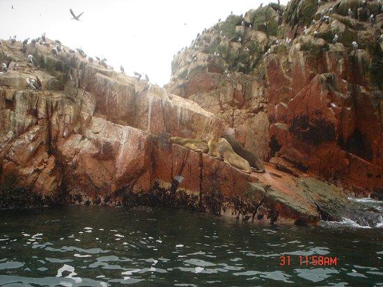 Ica Region, Peru: Lobos marinos