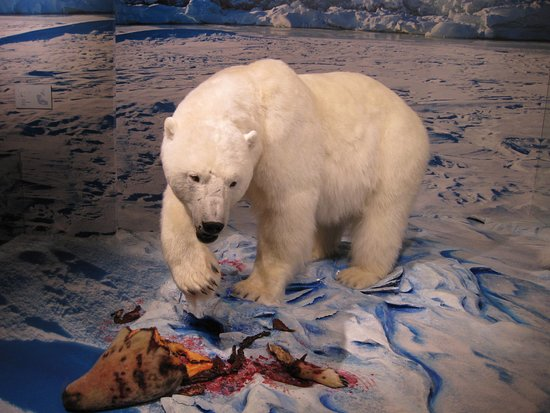 白クマ、アザラシを食べている様子が展示