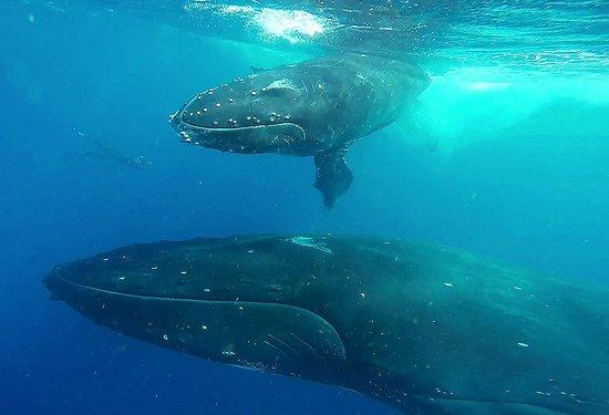 Vava'u Islands, Tonga: киты на вавау это нечто