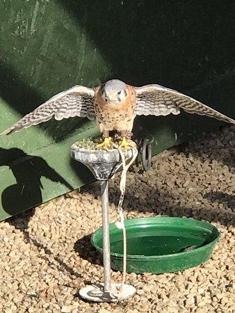 Falconry UK Thirsk Birds of Prey Centre: Kestrel