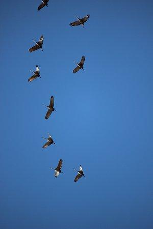 Jet, OK: Whooping cranes