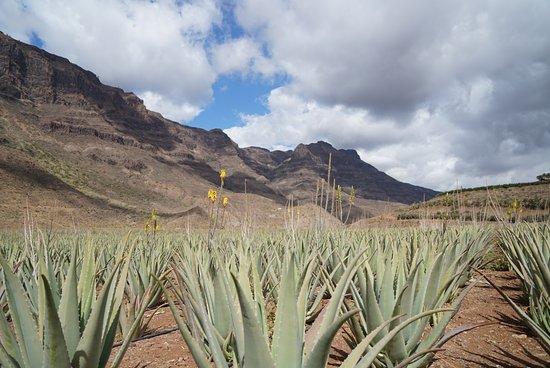 Finca Canarias Aloe Vera