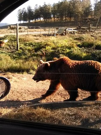 Winston, Орегон: This bear was pacing