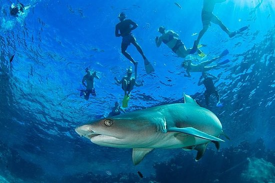 Ultimate Snorkel med Sharks Encounter ...