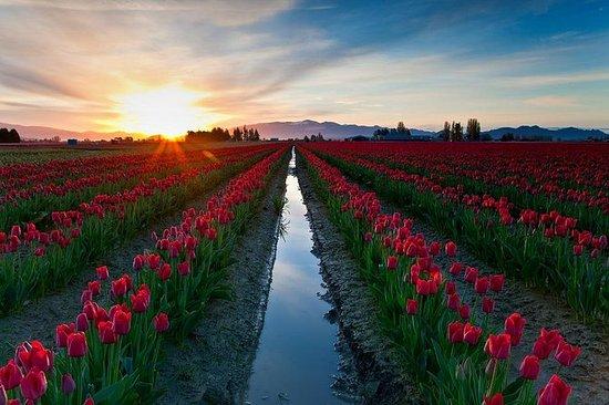 Skagit Valley Tulip Festival Day Trip...
