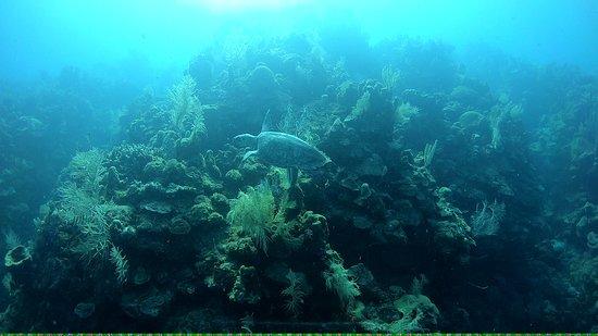 Roatan Divers: Turtle
