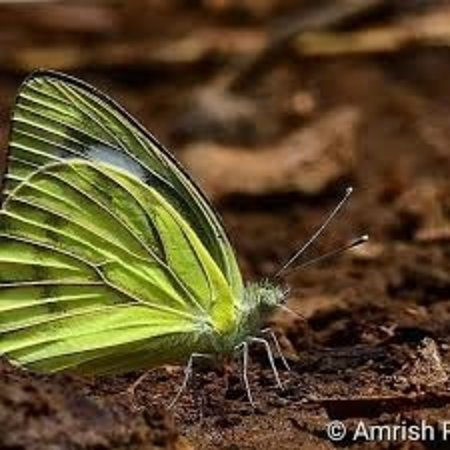 Simlipal National Park, Indien: Butterfly