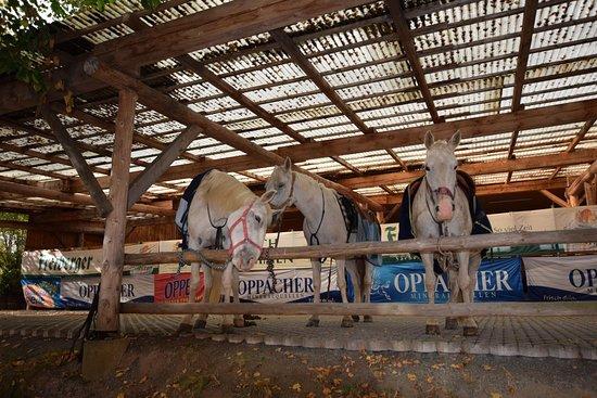 Dorfchemnitz, Alemania: Reiterpferde vom Bergbauernhof Mulda im Lindengarten am Landgasthof Wolfsgrund