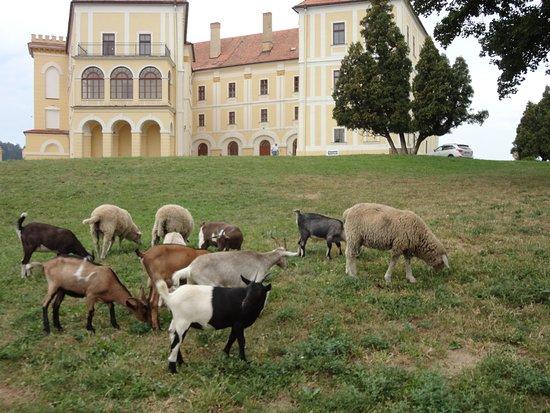 Zamek Letovice: stádo koz a ovcí v zámecké zahradě