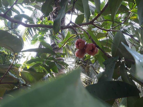 Провинция Бенче, Вьетнам: vietnam fruit garden