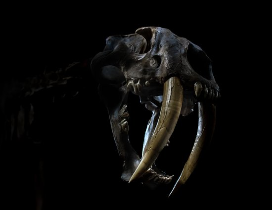 Dorchester, UK: Smilodon Skull (Saber Tooth Tiger)