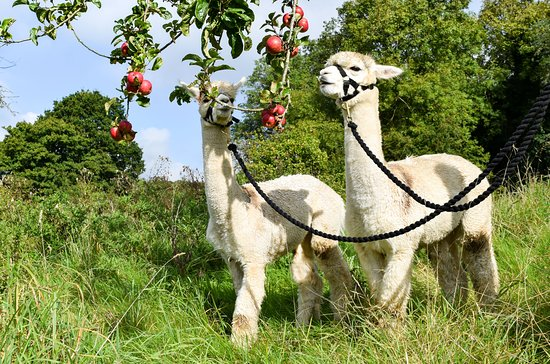 Little Orchard Alpacas
